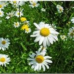 Daisy's Daisies