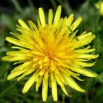 Dandelion, My Favourite Flower