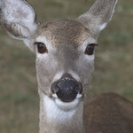 Deer in your face