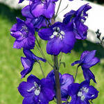 Delphinium, King Arthur, Pacific Giants