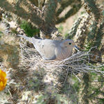 Dove Sitting On Nest