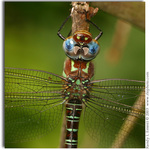Blue Eyes-Swamp Darner