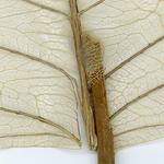 Dried Leaf On White