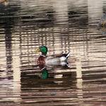 Duck and Turtle II