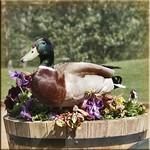 Duck in the Panseys