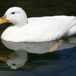 White Reflecting duck