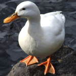 White Duck
