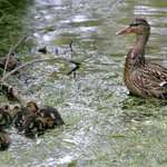 Happy Mother's Day - Proud Mama & ducklings