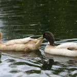 Ducks Pairing