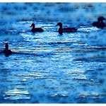 Ducks, watercolor