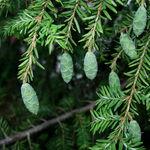 Eastern Hemlock Pine Cones (2)