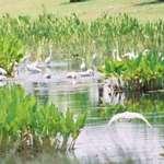 Egret gathering2