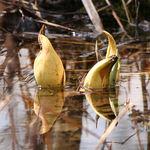 Emerging Skunk Cabbage Flowers