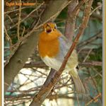 English Robin Redbreast.