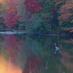 Blue Heron Autumn