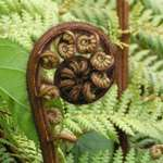 Fern Frond