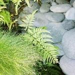 Stonely Ferns