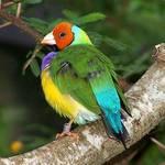 Orange Face Finch