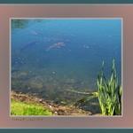 Elusive Koi/Carp in Lake Catch-A-Fish