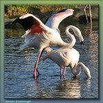 Great Flamingos