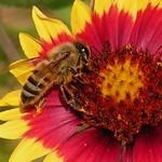 Bee on Firewheel