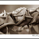 Sepia Roses