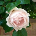 New Dawn Rose 2005
