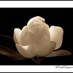 Sepia Magnolia