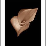 Sepia Calla #4