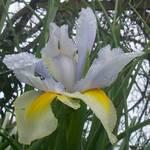 Rain on the Iris