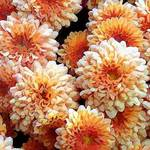 painted Mums