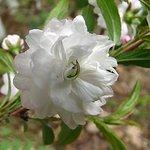 Almond bush blossom
