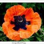 Georgia O'Keefe Poppy
