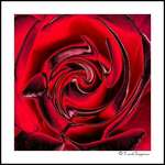 Rose Abstract #3