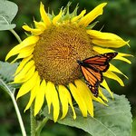 Butterfly&Sunflower