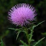 Tall Thistle
