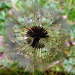 Dandilion Seed