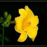 Stella Dora Lily