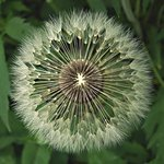 Dandilion Seed