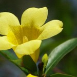 Yellow Jessamine