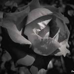 Rose Back&White