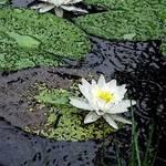 Waterlilies in the Rain