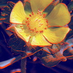 Psychedelic Buttercup