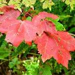 Maple Colors