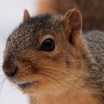 Fox Squirrel Portrait