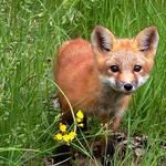 Fox Pupp