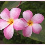 Frangipani, Hawaiian Lei Flower.