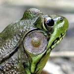 Frog Macro