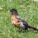 Funny Colored Robin