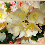Golden Torch Rhododendron